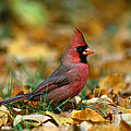 Male Cardinal Cardinalis Cardinalis by Panoramic Images
