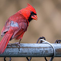 Male Cardinal On A Fence by Terry DeLuco
