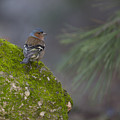 Male Common Chaffinch  by Alon Meir
