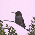 Male Costa's Hummingbird With Mauve by Judy Kennedy