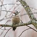 Male Downey Woodpecker by Michael Peychich