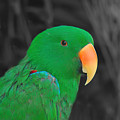 Male Eclectus by Mickey At Rawshutterbug