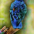Male Fairy Bluebird by Allen Beatty