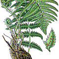 male fern, Dryopteris filix-mas by Bildagentur-online