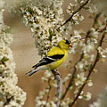 Male Finch In Blossoms by Cathy  Beharriell
