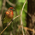 Male Finch In Red Plumage by Angela Stanton