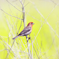 Male Finch On Bare Branch by Susan Gary