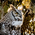 Male Great Horned Owl Portrait by Donna Barker