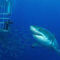 Male Great White Shark And Divers by Todd Winner