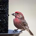 Male House Finch Feeding by Al  Mueller