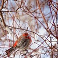 Male House Finch Holds In The Heat by Flying Z Photography by Zayne Diamond