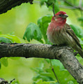 Male House Finch by Jenny Gandert