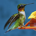 Male Hummingbird Spreading Wings by Chester Wiker