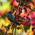 Male Indigo Bunting Eating Blossoms by Dale Kauzlaric