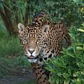 Male Leopard by Franco De Luca Calce Wildlife Photographer