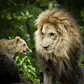 Male Lion And Cub by Linda D Lester