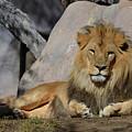 Male Lion Resting In The Warm Sunshine by DejaVu Designs