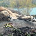 Male Lion by Rocky Washington