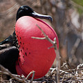 Magnificient Frigatebird  by Ralf Broskvar