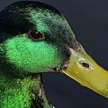Male Mallard Duck Anas Platyrhynchos Portrait  by Sue Harper