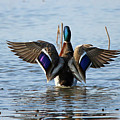 Male Mallard In Glorious Color  7515 by Jack Schultz
