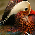 Male Mandarin Duck China by Ralph A  Ledergerber-Photography