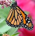 Male Monarch by Steve Augustin