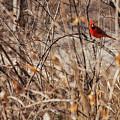 Male Northern Cardinal by Edward Peterson
