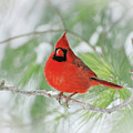 Male Northern Cardinal In Winter - 2 by Kerri Farley
