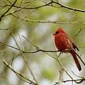 Male Northern Cardinal by Michael Peychich