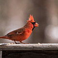 Male Northern Cardinal Winter New Jersey  by Terry DeLuco