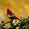 Male Northern Red Cardinal by Debbie Oppermann
