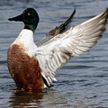Male Northern Shoveler Wing Flapping by Morgan Hill