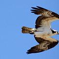 Male Osprey In Flight by Annie Babineau