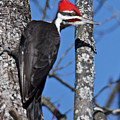 Male Pileated Woodpecker 6340 by Michael Peychich