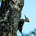 Male Pileated Woodpecker by Norman Johnson