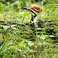 Male Pileated Woodpecker On The Ground No. 2 by Belinda Greb