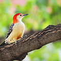 Male Red-bellied Woodpecker by Sharon McConnell