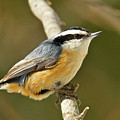 Male Red Breasted Nuthatch 2151 by Michael Peychich