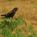 Male Red-winged Blackbird Singing by Mitch Spence