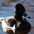 Male Ring-necked Duck by Sue Harper