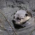 Male River Otter by Richard Rivard