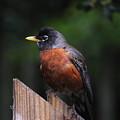 Male Robin by Lizi Beard-Ward