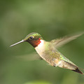 Male Ruby Throated Hummingbird by Cathy Beharriell