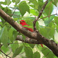Male Summer Tanager by Charles Green