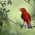 Male Summer Tanager by Myrna Bradshaw