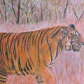 Adult Male Tiger Of India Striding At Sunset  by Glenda Crigger