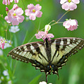 Male Tiger Swallowtail 5416 by Michael Peychich
