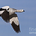 Male Upland Goose by Jean-Louis Klein & Marie-Luce Hubert
