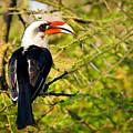 Male Von Der Decken's Hornbill by Adam Romanowicz